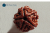 Power of the 5 Mukhi Rudraksha Peace and Prosperity from Lord Shiva