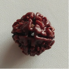 Natural Four Face Rudraksha