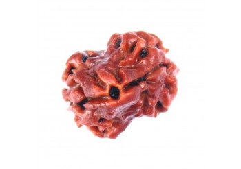Astrological Influence of the Rudraksha Beads 2 Mukhi Bead and its Powers