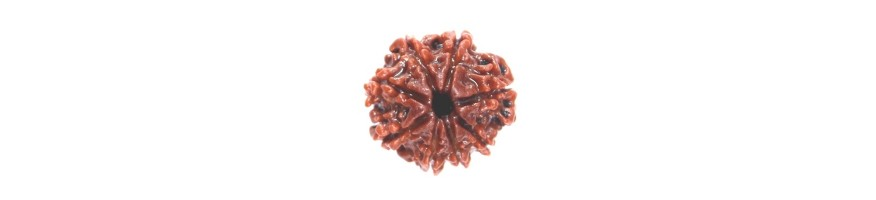 Eight Face Rudraksha