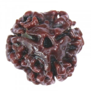 Natural 3 Mukhi Rudraksha ( Super Quality )