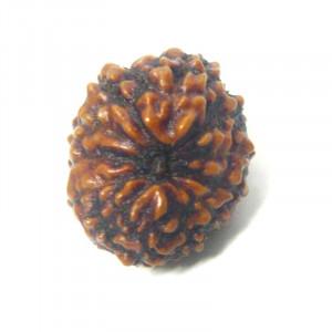Natural Certified 12 Mukhi Rudraksha