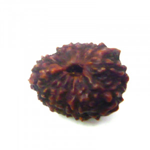 Natural Certified Thirteen Face Rudraksha