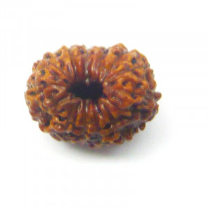 Natural Certified Fourteen Face Rudraksha