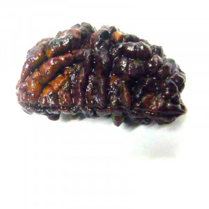 Natural Certified One Face Rudraksha