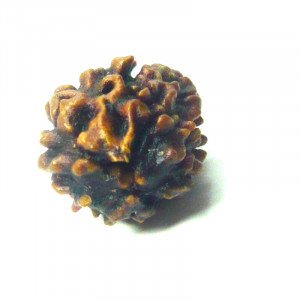Natural Certified Two Face Rudraksha